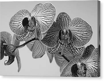 Phalaenopsis Orchid Canvas Print by Dariusz Gudowicz