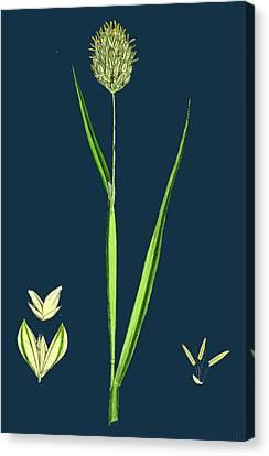Phalaris Canariensis Canary-grass Canvas Print