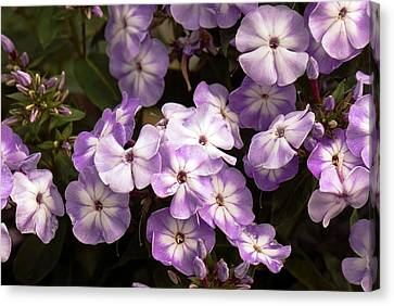 Phlox Paniculata 'grey Lady' Canvas Print by Adrian Thomas
