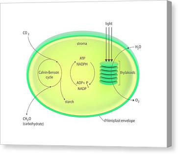 Photosynthesis Metabolism Canvas Print by Science Photo Library