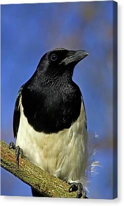 Black-billed Magpie Canvas Print - Pie Bavarde Pica Pica by Gerard Lacz