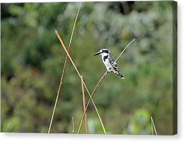 Pied Kingfisher Canvas Print by Tony Murtagh