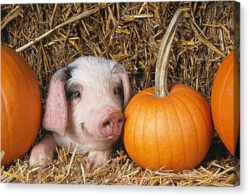 Piglet With Pumpkins Canvas Print by John Daniels