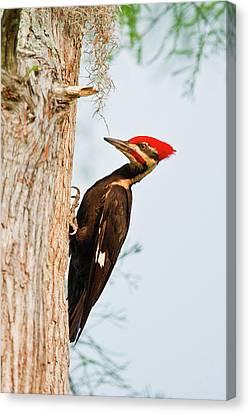 Pileated Woodpecker Canvas Print - Piliated Woodpecker (dryocopus Pileatus by Larry Ditto