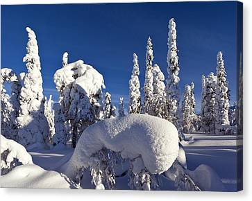 Pine Forest After Heavy Snowfall Canvas Print by Science Photo Library