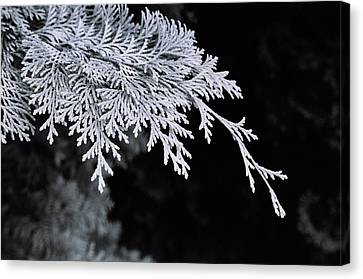 Pine Needles Canvas Print by Christopher Lugenbeal