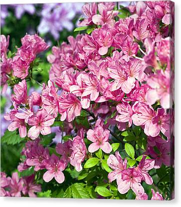 Pink And Blue Rhododendron Canvas Print