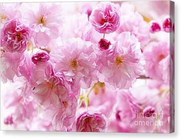 Pink Flower Branch Canvas Print - Pink Cherry Blossoms  by Elena Elisseeva