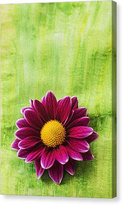 Pink Chrysanthemum Canvas Print