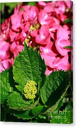 Pink Hydrangea Canvas Print by Gaspar Avila