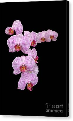 Pink Orchids Canvas Print by Tom Prendergast