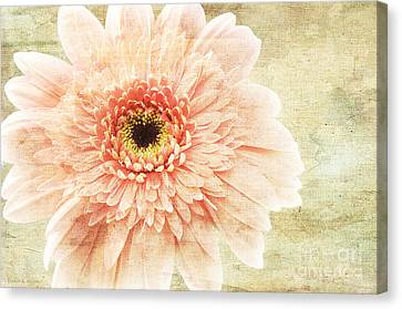 1 Pink Painterly Gerber Daisy Canvas Print