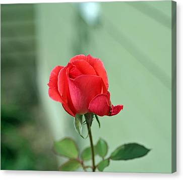 Pink Rose Canvas Print by Larry Stolle