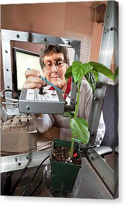 Plant Disease Transmission Research Canvas Print by Stephen Ausmus/us Department Of Agriculture