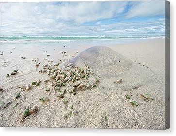 Jellyfish Canvas Print - Ploughshare Snails Feeding On Jellyfish by Peter Chadwick