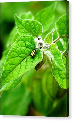 Poha Berry Beetle Canvas Print