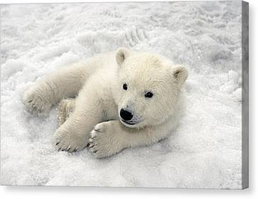 Polar Bear Cub Playing In Snow Alaska Canvas Print by Mark Newman