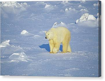 Polar Bear (ursus Maritimus Canvas Print by Richard and Susan Day