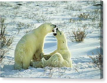 Polar Bears (ursus Maritimus Canvas Print by Richard and Susan Day