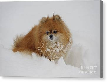 Pomeranian In Snow Canvas Print