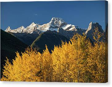 Poplar Trees In Autumn, Mount Lougheed Canvas Print by Panoramic Images