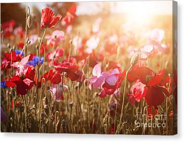 Sunflare Canvas Print - Poppies In Sunshine by Elena Elisseeva