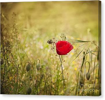 Poppy Flower Canvas Print by Mythja  Photography