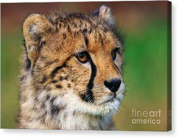 Portrait Of A Cheetah Cub Canvas Print by Nick  Biemans