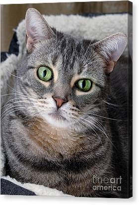 Tabby Canvas Print - Portrait Of An Ameriican Shorthair Cat by Amy Cicconi