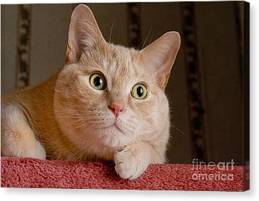 Portrait Orange Tabby Cat Canvas Print by Amy Cicconi