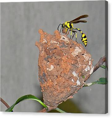 Potter Wasp With Nest Canvas Print