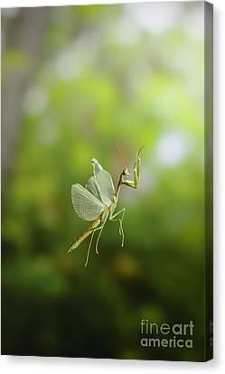 Praying Mantis In Flight Canvas Print by Scott Linstead