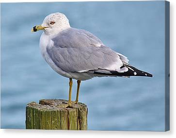 Pretty Sea Gull Canvas Print by Paulette Thomas