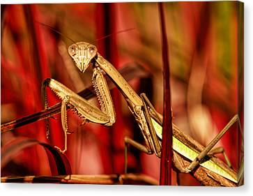 Praying Mantis  Canvas Print by Geraldine Scull