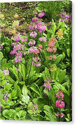 Primula 'harlow Carr Hybrids' Flowers Canvas Print