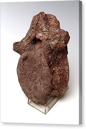 Prosauropod Vertebra Fossil Canvas Print