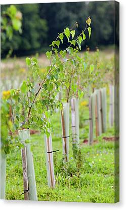 Protected Saplings Canvas Print by Ashley Cooper