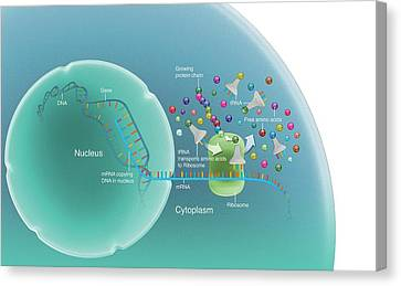 Protein Synthesis Canvas Print