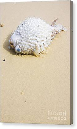 Puffed Out Puffer Fish Canvas Print