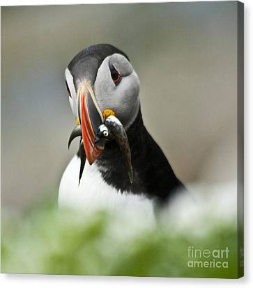 Puffin With Fish Canvas Print by Heiko Koehrer-Wagner