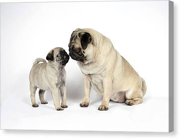 Pug With Puppy Dog Canvas Print by John Daniels