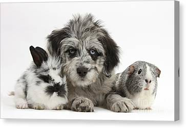 Puppy, Guinea Pig And Rabbit Canvas Print by Mark Taylor