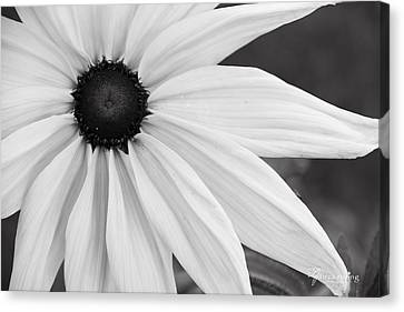 Purity Coneflower, Quincy California Canvas Print by Tirza Roring