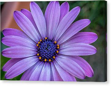 Purple Flower  Canvas Print by Trace Kittrell