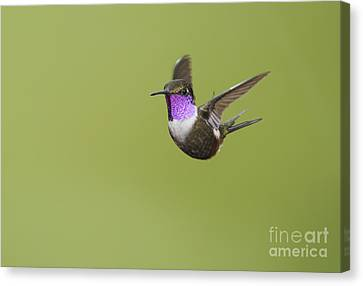 Canvas Print featuring the photograph Purple-throated Woodstar Hummingbird by Dan Suzio