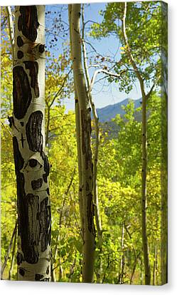 Quaking Aspen Canvas Print - Quaking Aspen In Full Color Showing by Maresa Pryor