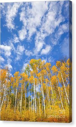 Populus Tremuloides Canvas Print - Quaking Aspen Near Alaska Highway by Yva Momatiuk John Eastcott