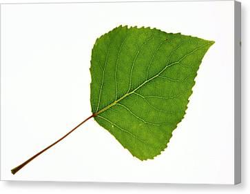 Quaking Aspen Populus Tremuloides Leaf Canvas Print by Bjorn Svensson