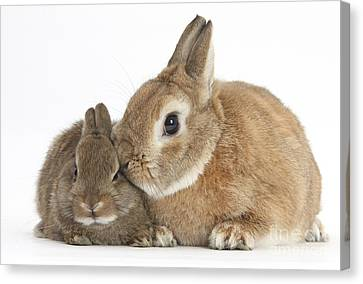 House Pet Canvas Print - Rabbit And Baby Rabbit by Mark Taylor