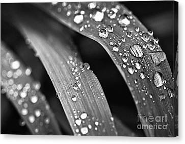 Grass Canvas Print - Raindrops On Grass Blades by Elena Elisseeva